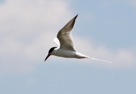 Common Tern (Image by David Horowitz)