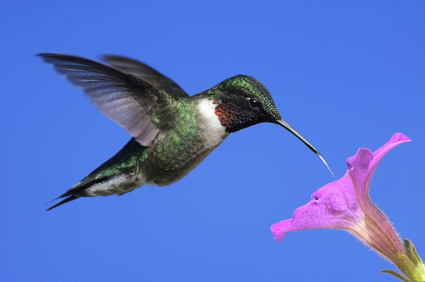 Male-Ruby-throated-Hummingbird.jpg