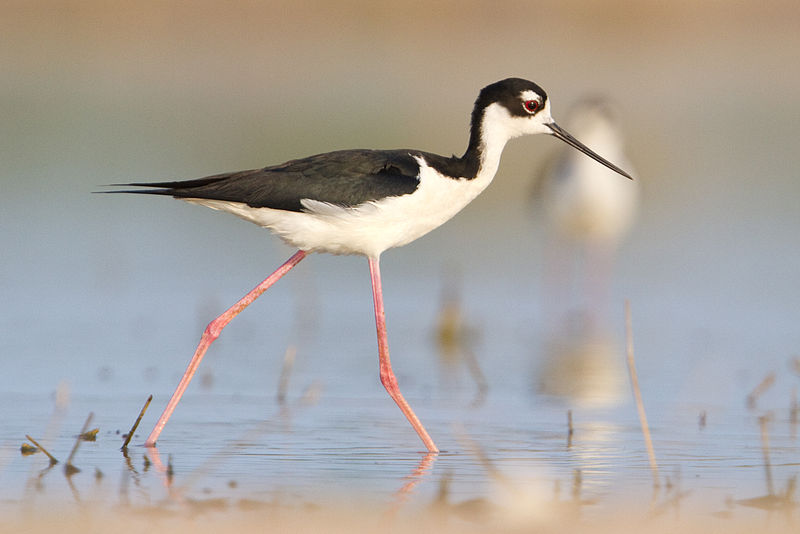 800px-Black-necked_Stilt_of_Quintana_Texas1