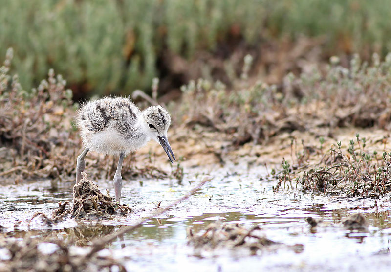 Black-necked_Stilt_chick,_San_Jose,_CA