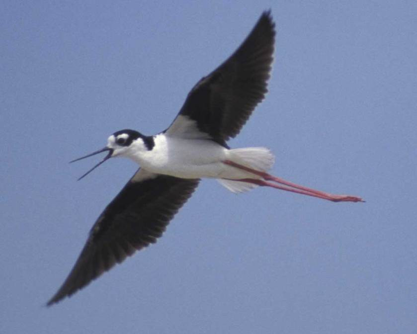 Black-necked_Stilt_f20-5-067_l_1