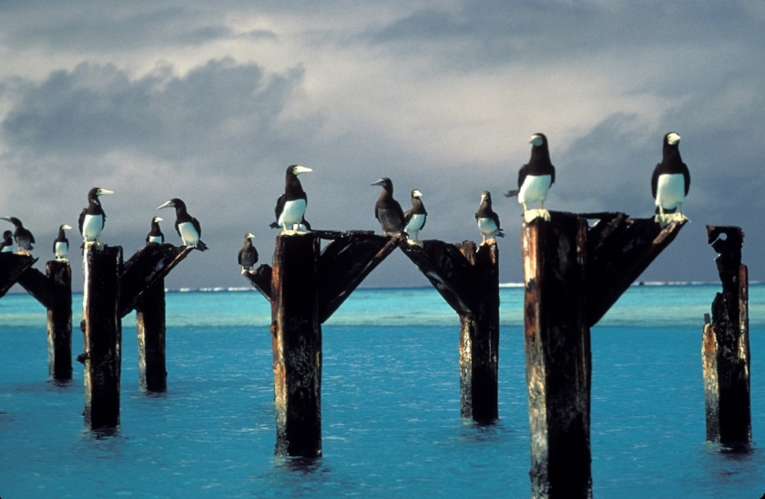 Brown_boobies_atop_pier_posts_at_Johnston_Atoll_NWR