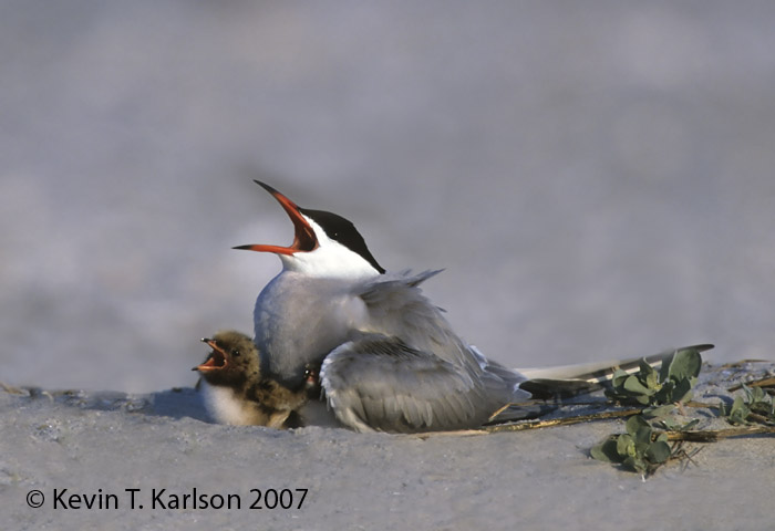 Common-Tern-3