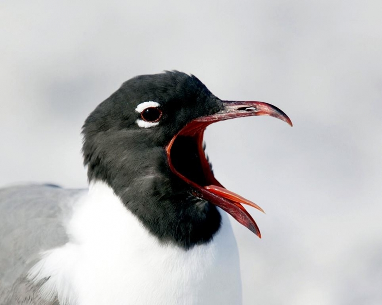 pictures-Laughing-Gull-portrait