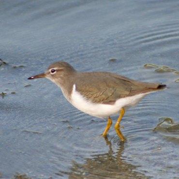 Nonbreeding Spotted Sandpiper (Image via birdinginformation.com)
