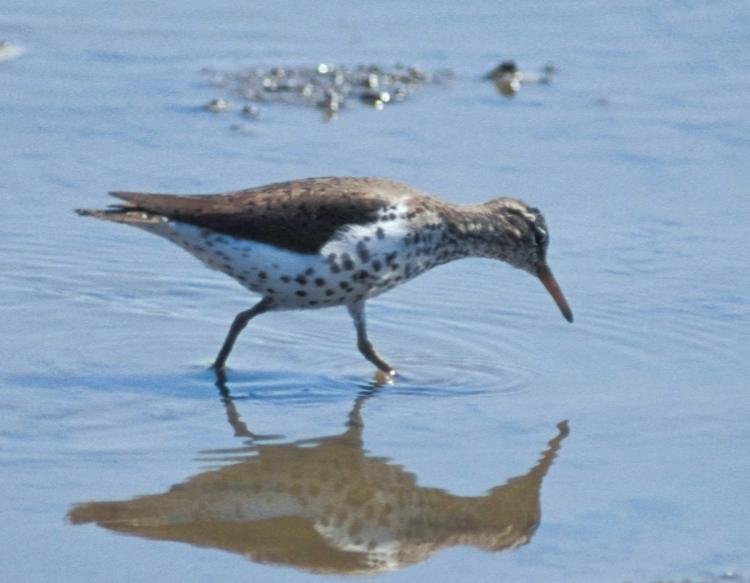 Spotted_Sandpiper_foraging_in_shallow_water_3-17-16