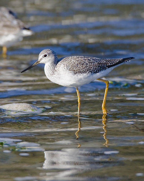 479px-Greater_Yellowlegs2