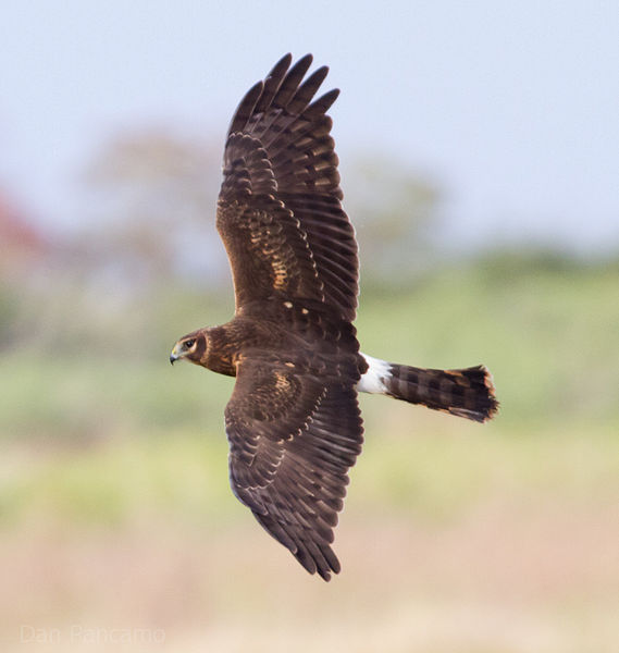 569px-Northern_Harrier2_by_Dan_Pancamo