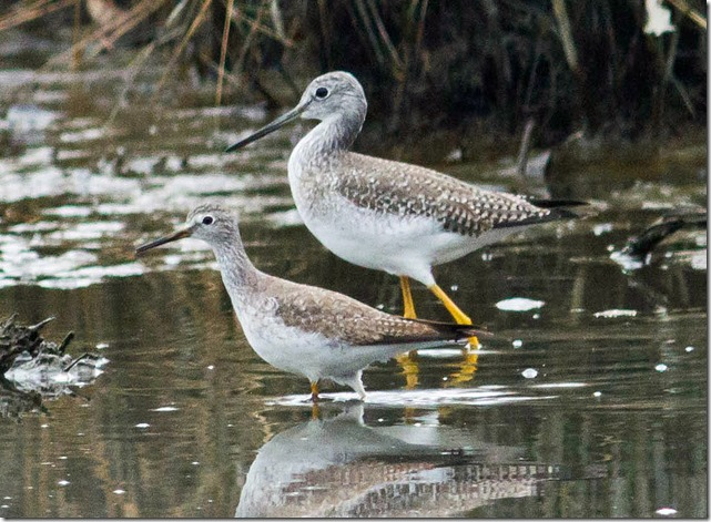 Greater and Lesser Yellowlegs 1a TR_thumb