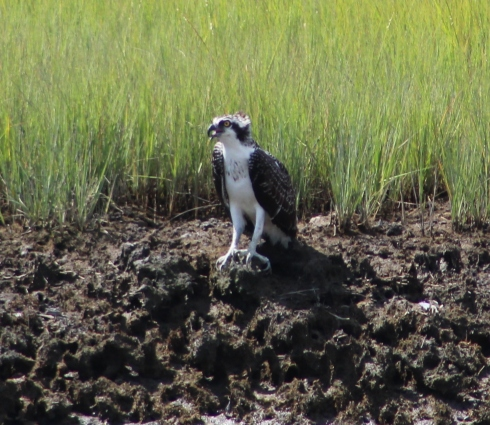 An Osprey calls from the ground (Image by David Horowitz)