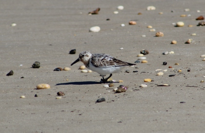 Sanderling scurries along the beach (Image by David Horowitz)