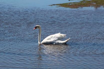 A beautiful Mute Swan (Image by BirdNation)