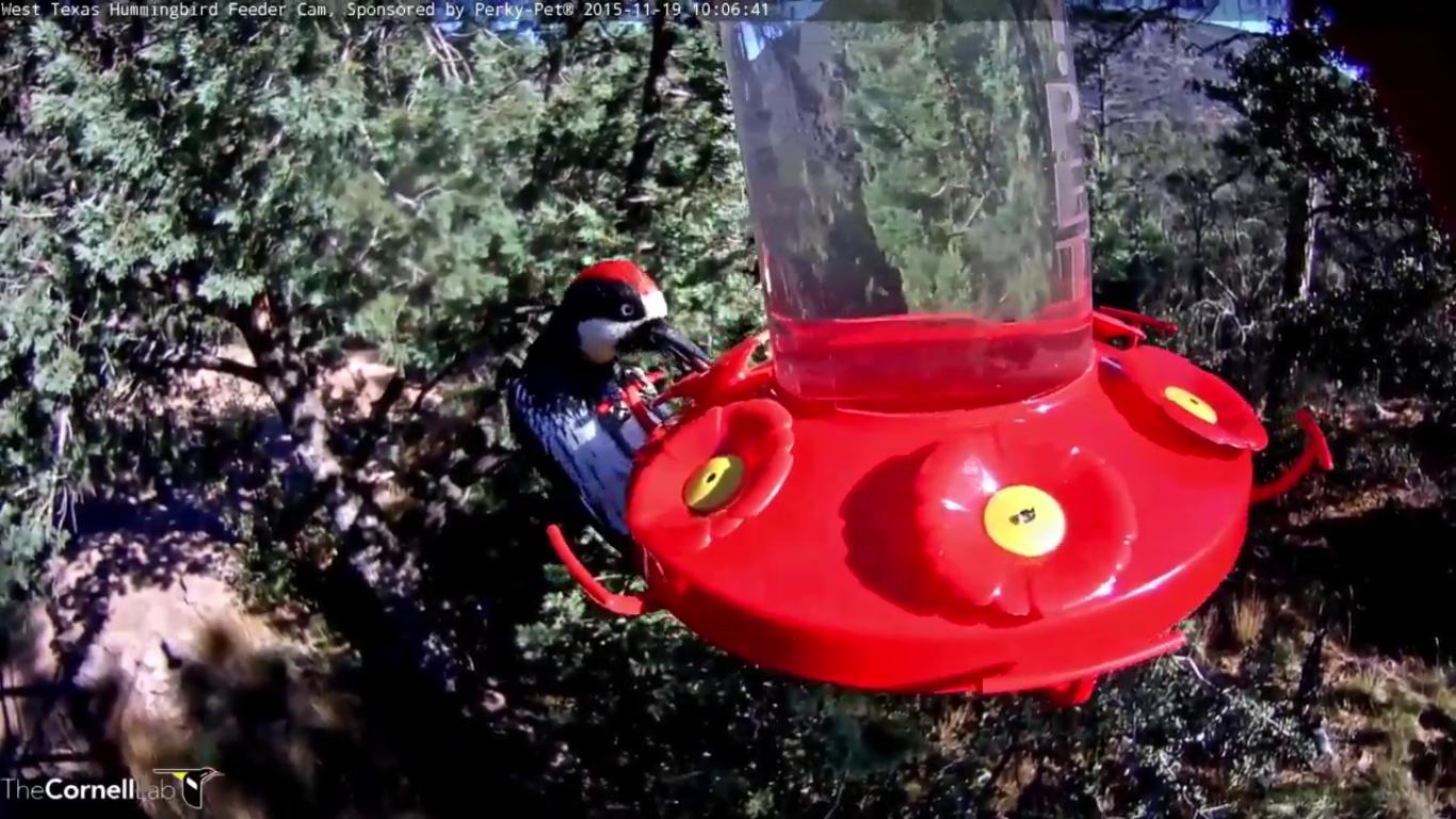 11-19-15-acorn-woodpecker