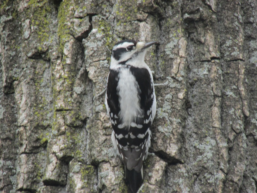 female-downy-woodpecker