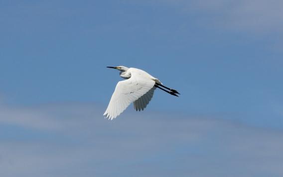 Snowy Egret in flight (Image by David Horowitz)