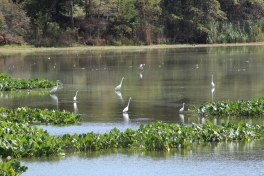 A field of Egrets (Image by BirdNation)