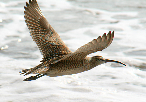 whimbrel-flying-2