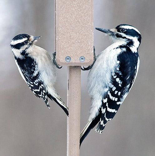 woodpecker-size