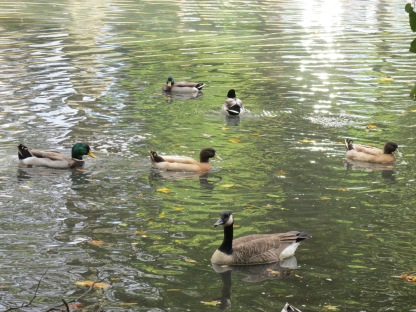 Waterfowl swimming (Image by BirdNation)