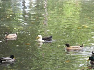 Hybrid Ducks (Image by BirdNation)