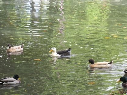 Hybrid Ducks (Image by BirdNation)
