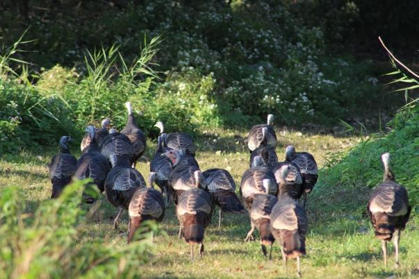 Turkeys on the go (Image by David Horowitz)
