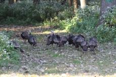 Turkeys taking a stroll (Image by David Horowitz)
