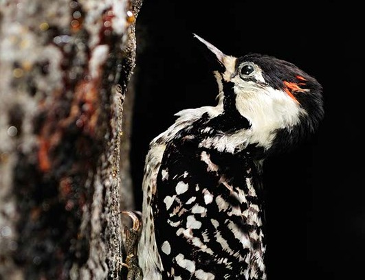 red-cockaded-woodpecker-1-e1447625173582