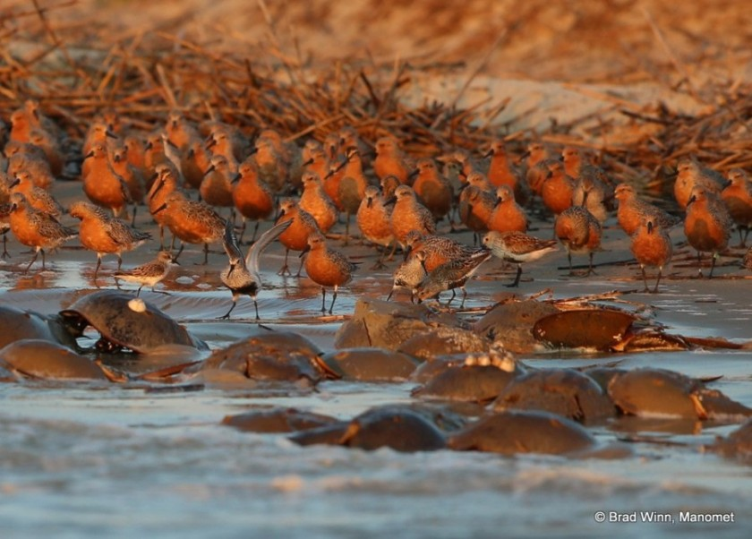 red-knots-and-horsehoe-crabs-900x645