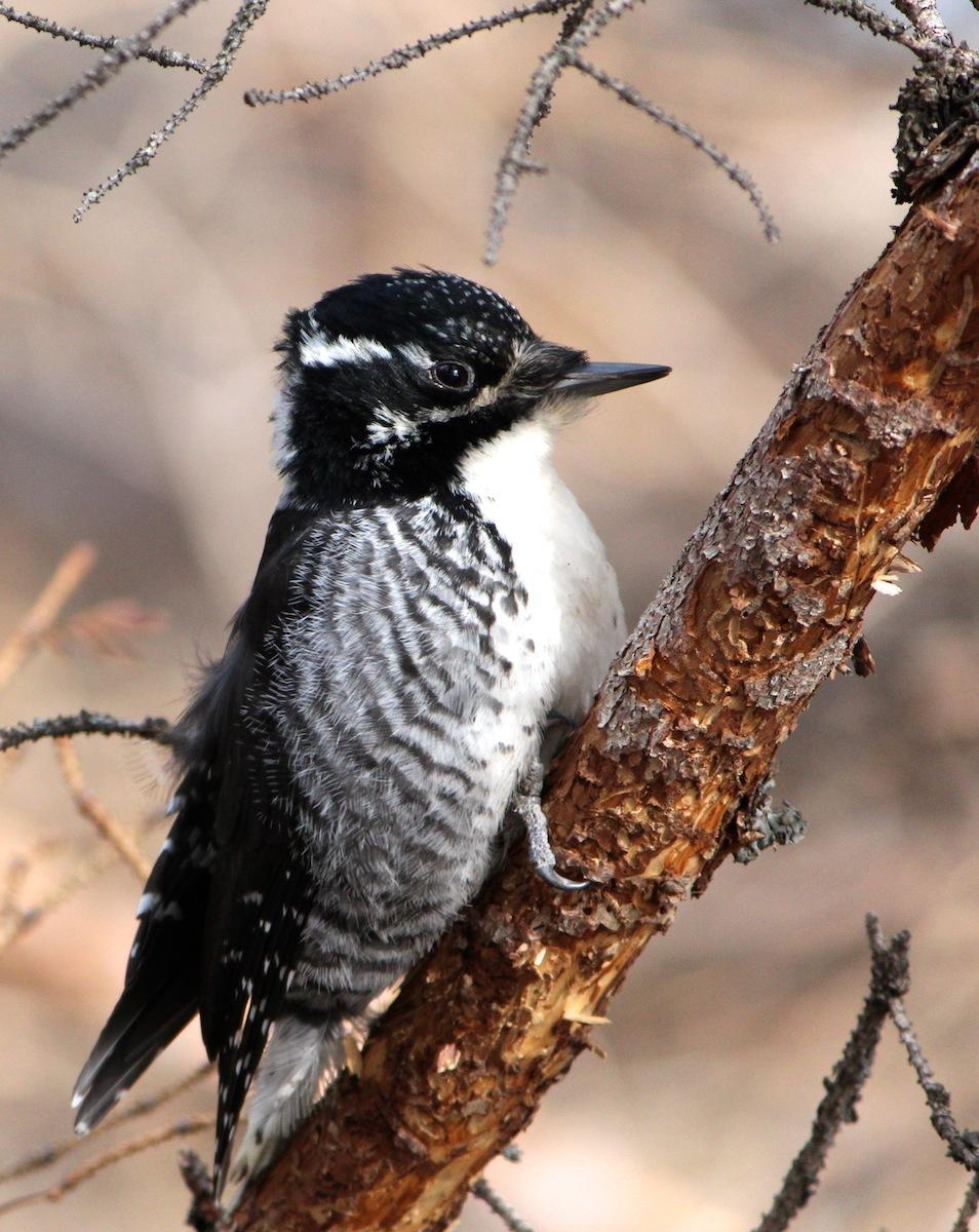 american-three-toed-woodpecker