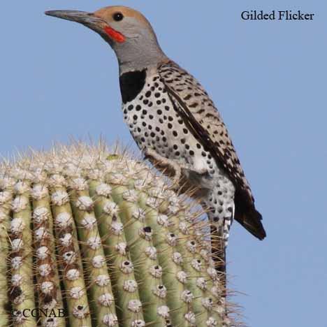 gilded-flicker-2