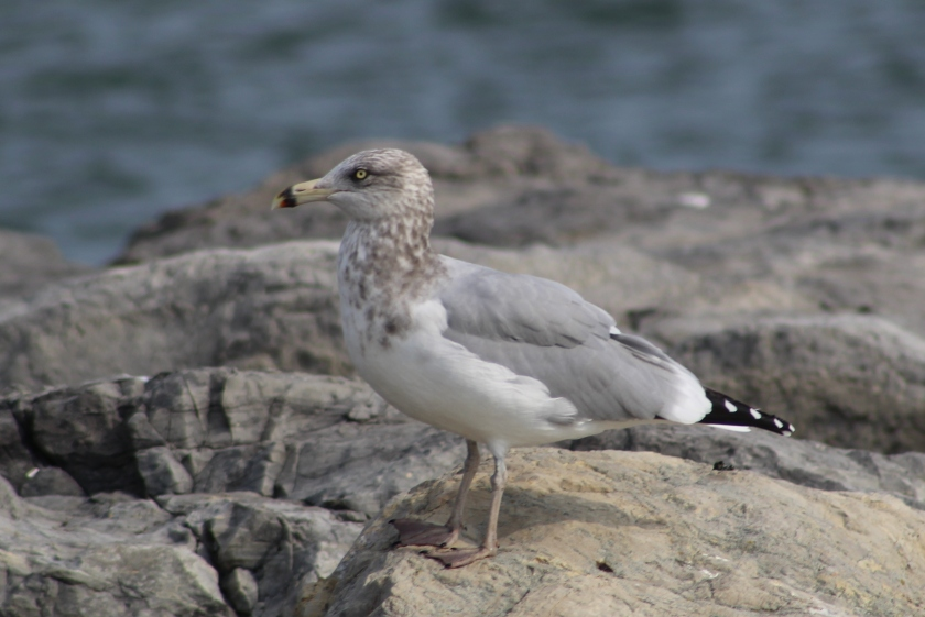 picture of a seagull bird