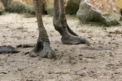 Ostrich feet (Image by Arjan Haverkamp via wikipedia)