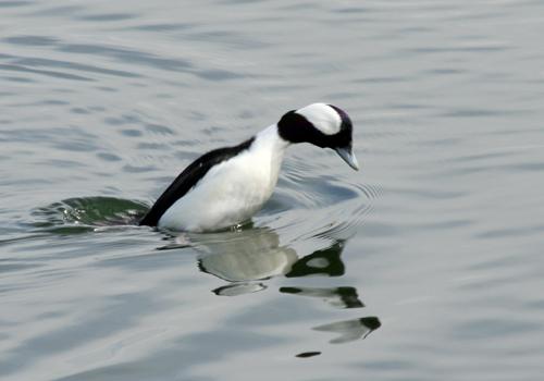 bufflehead-male-diving-1