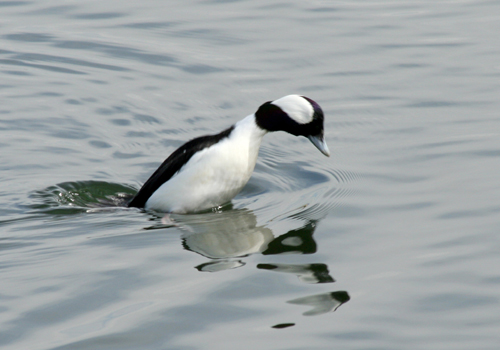 bufflehead-male-diving-1