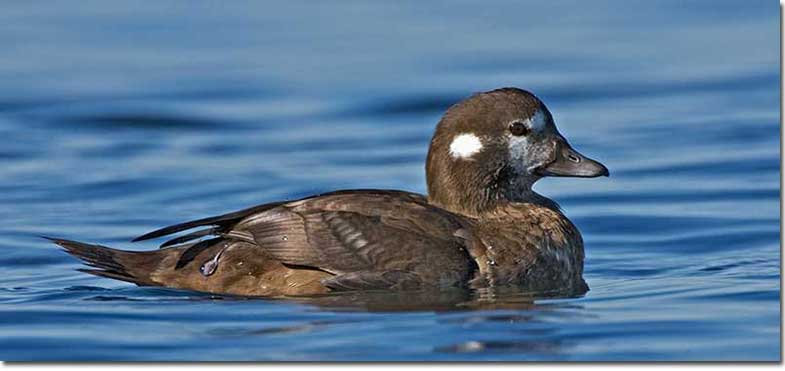 harlequin-duck-female-1-ew