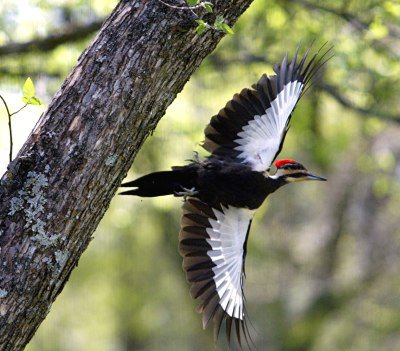 pileated-woodpecker-natureman