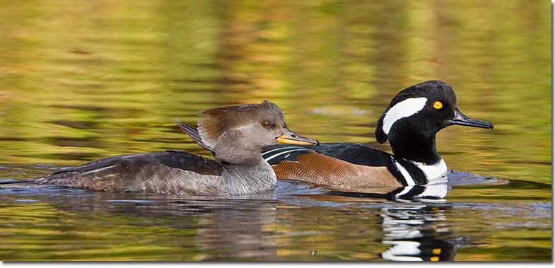 Hooded Mergansers (Image by Glenn Barley via birdzilla.com)