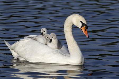 450-178326282-mute-swan-in-water