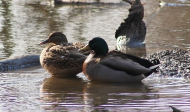 Mallards (Image by BirdNation)