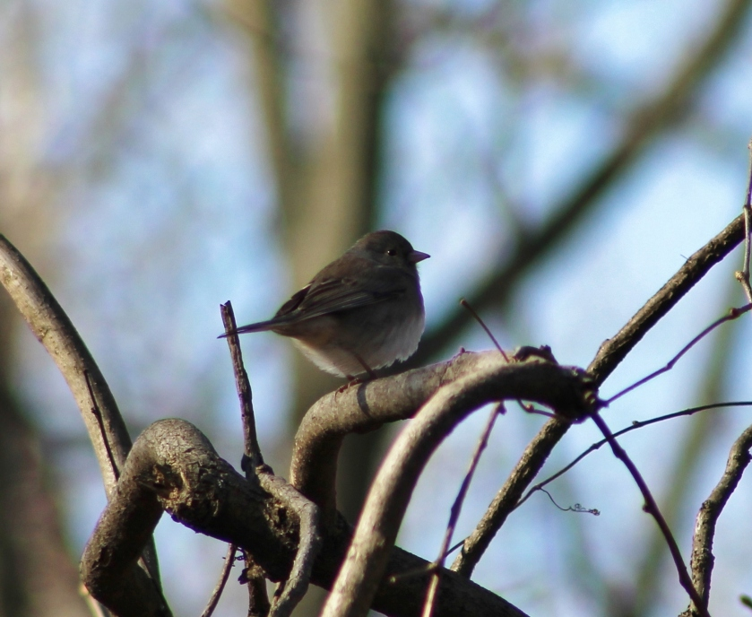 dark-eyed-junco