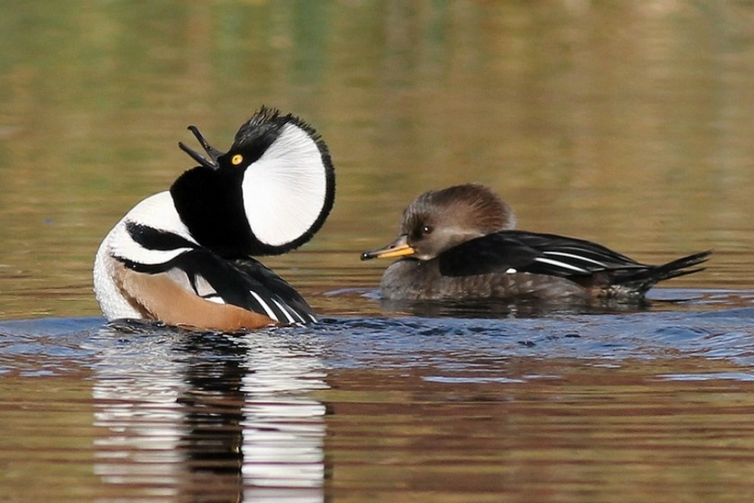 A male Hooded Merganser displaying for a female