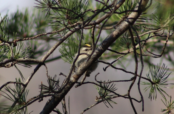 Golden-crowned Kinglet peeks from the branches (Image by David Horowitz)