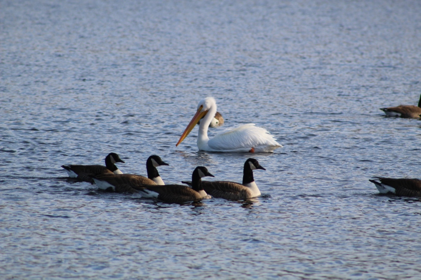mr-pelican-and-geese