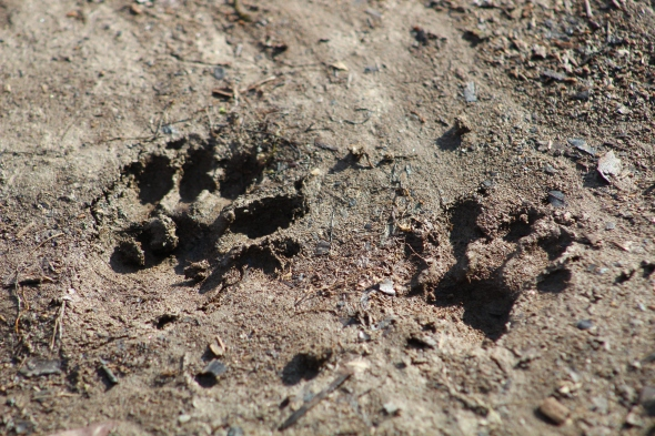 Mystery tracks...possibly mink (Image by David Horowitz)