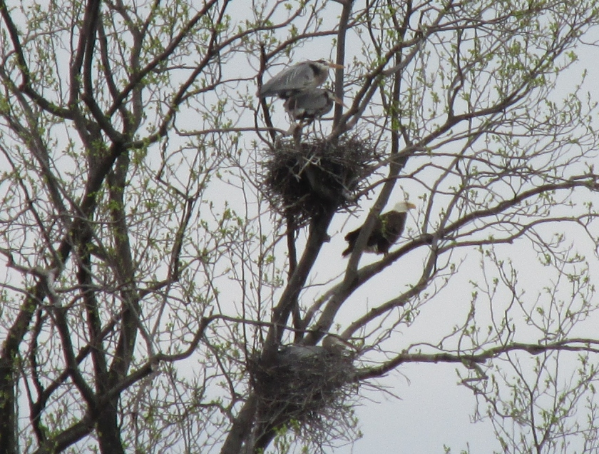 herons-and-egg-crop