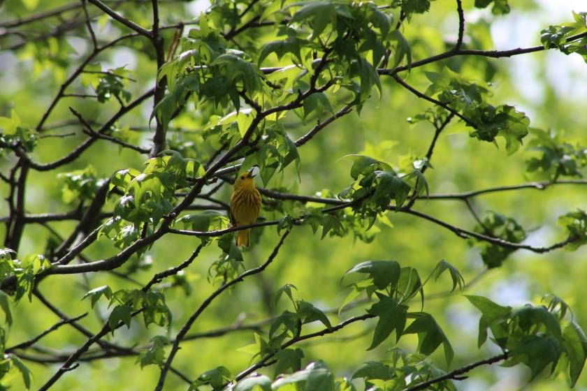 yellow-warbler-singing