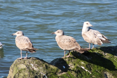 Gulls hanging out (Image by David Horowitz)