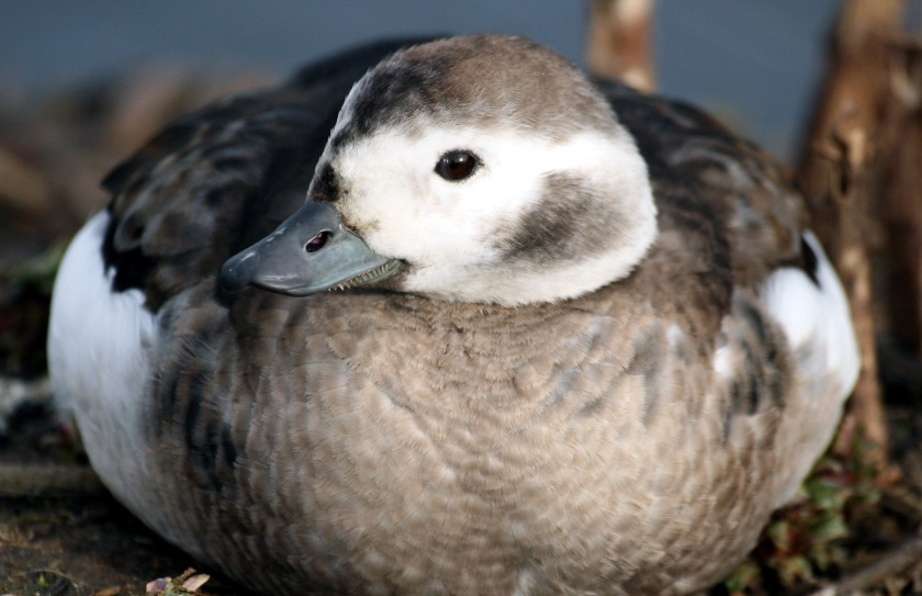 long-tailed_duck_female_winter