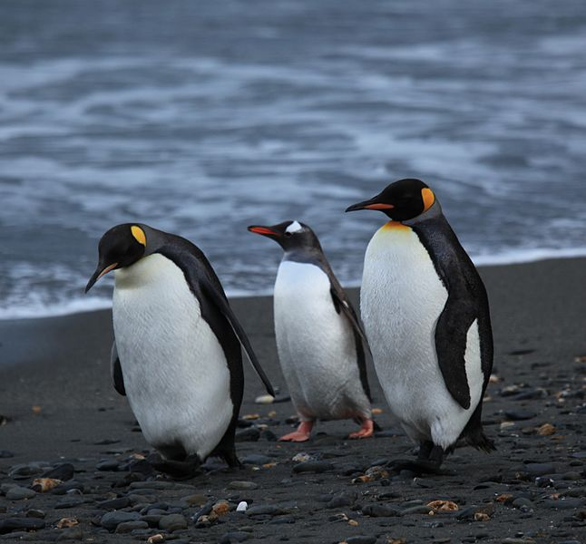 646px-Penguins_walking_-Moltke_Harbour,_South_Georgia,_British_overseas_territory,_UK-8